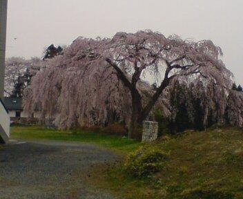 10年分の桜