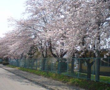 高校桜満開